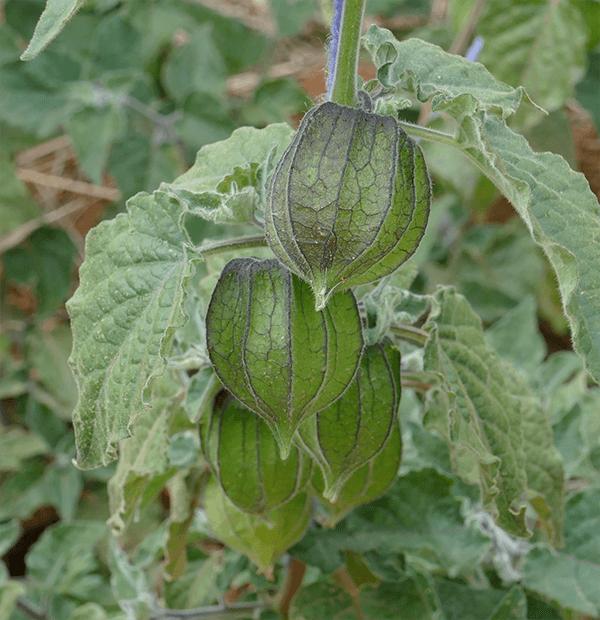 agropia physalis