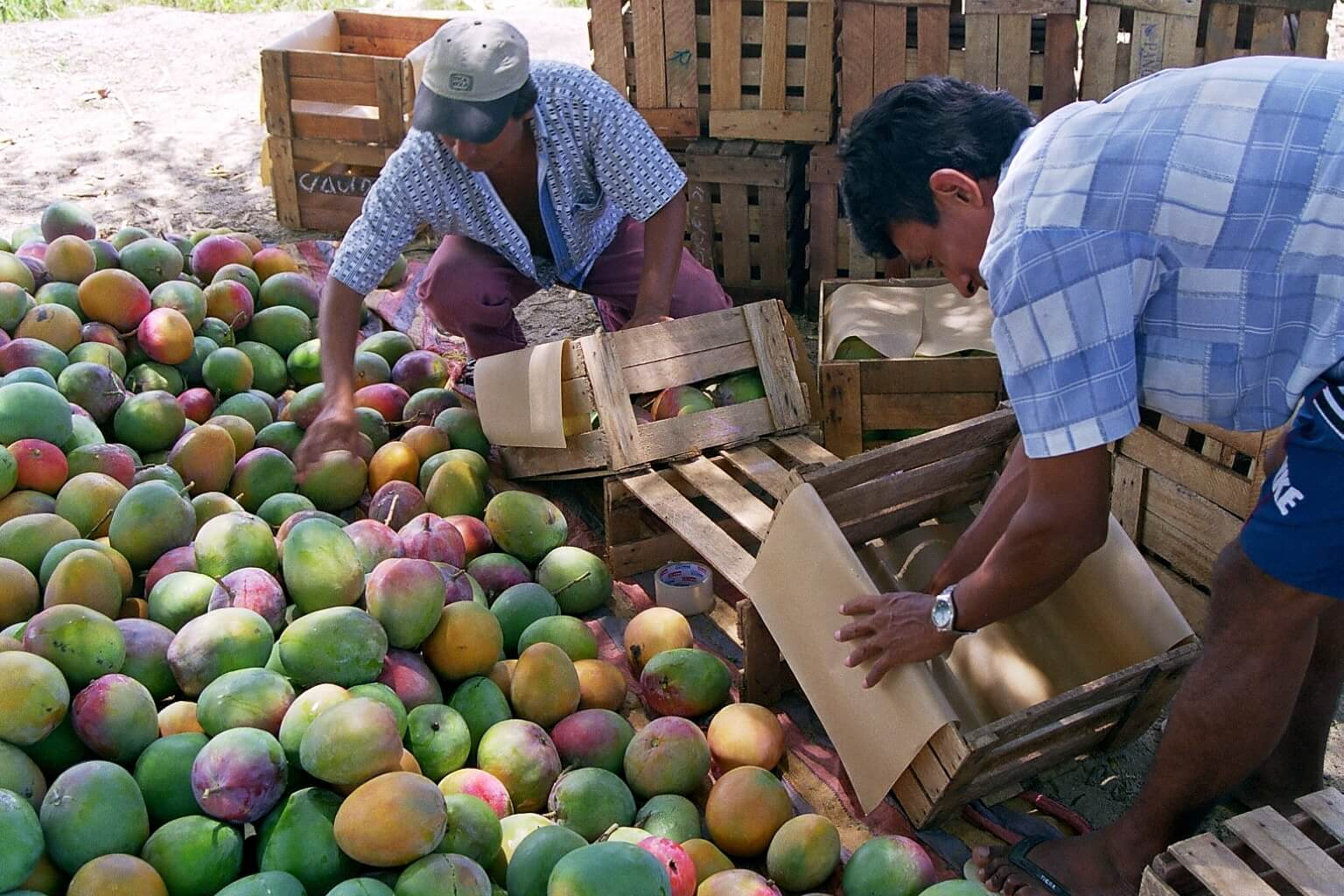 apromalpi mangue