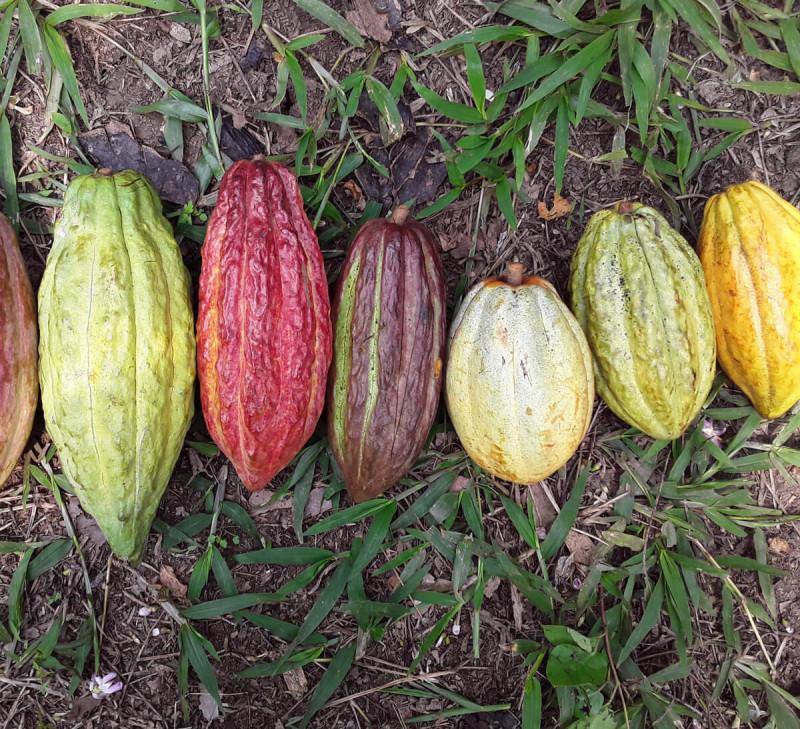 cacao-guatemala-equitable-bio