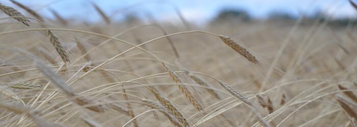 farine de petit épeautre bio et équitable