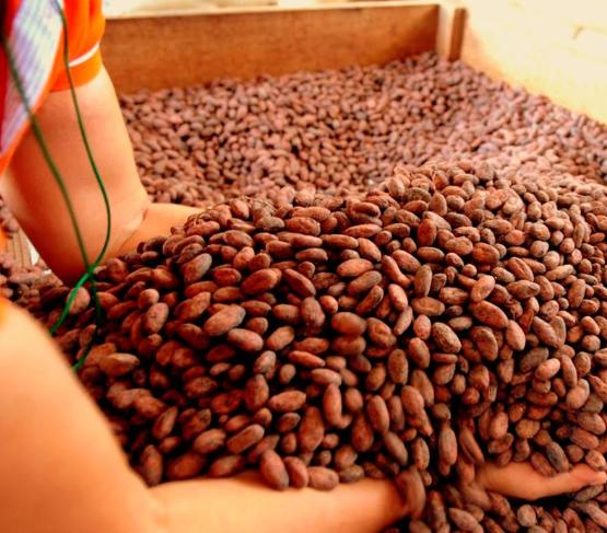 feve cacao norandino pérou