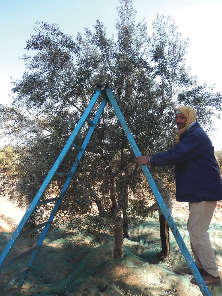 SMSA olivier bio équitable ethiquable
