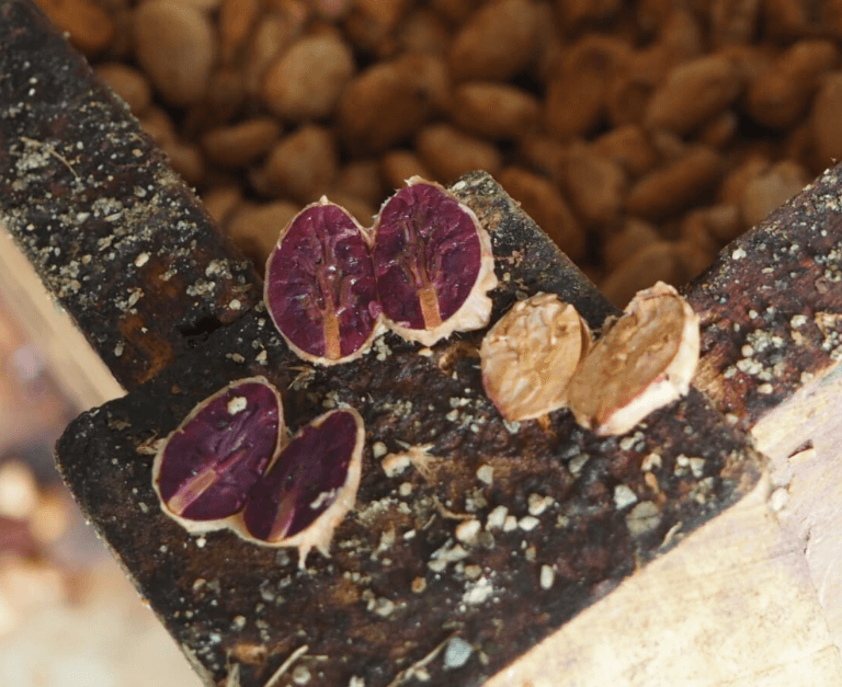 noradino fermentation fève