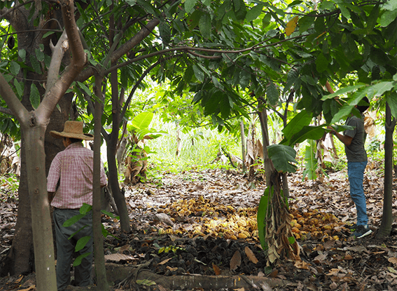 noradino parcelle cacao