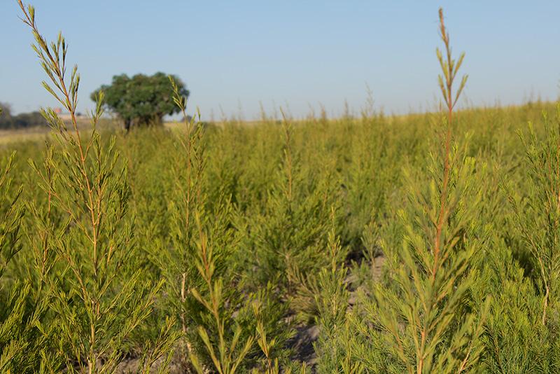oribi tea tree bio équitable ethiquable