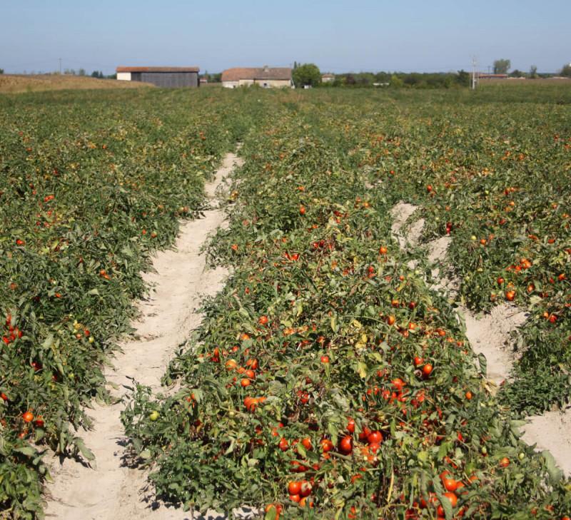 tomate bio équitable en france