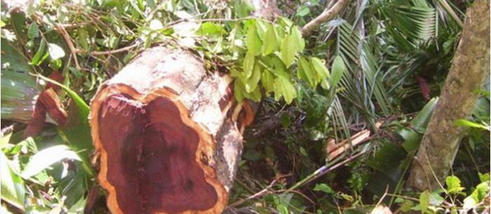 Madagascar le trafic ill gal du bois de rose blanchi dans la vanille ethiquable - Blanchir du bois ...