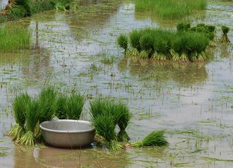 pmuac riz commerce équitable