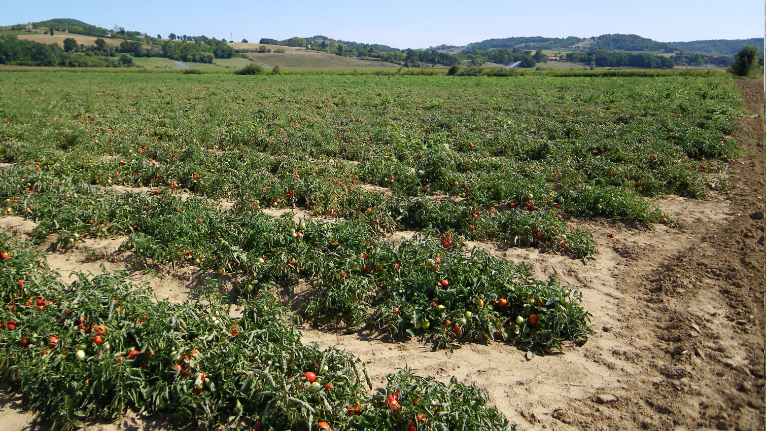 tomate bio équitable en france marmande